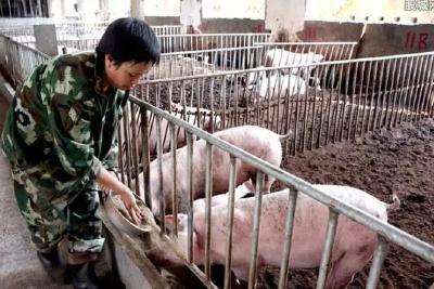 """湖北等9省市推出""""公司+农户""""生猪养殖方案,对中小养猪户是机遇吗"""
