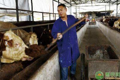 酒糟可以养牛吗?酒糟养牛的优势及注意事项