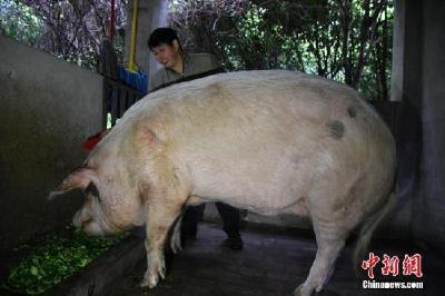 """汶川地震""""猪坚强""""已经12岁 将在猪年结束前搬新家"""
