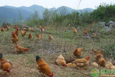 村民养鸡滞销 恩施公安及时伸出援手解困