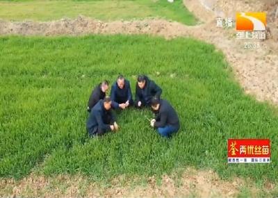 垄上农学院:部分小麦提前拔节 预防后期低温冻害