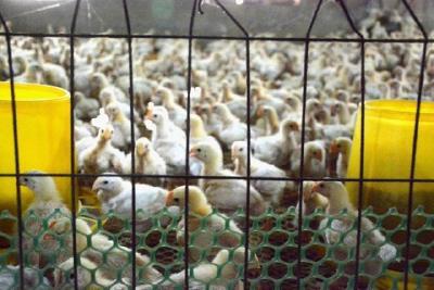 毛鸡价低迷不振,肉鸡6元一斤遭哄抢,鸡苗5天涨1元,养鸡户亏损