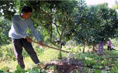 挖槽施肥对橘子树有影响吗?