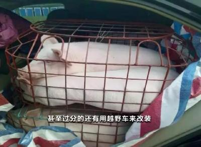 """南方查获非法""""炒猪团"""":一辆面包车里疯狂塞24头猪"""