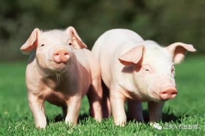 2020年养猪挣钱吗?这些问题还需重视