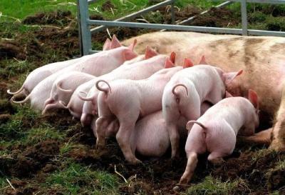 猪肉价格不会涨!农业农村部:生猪生产稳步恢复