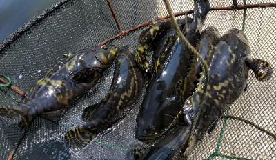 迫切关注!因流通受阻,9成石斑鱼养殖户正愁卖鱼难,诉求和担心日增