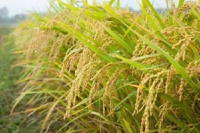 今年水稻种什么能赚钱?黑、粘、长粒和圆粒品种选哪个?