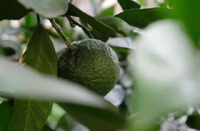 种柑橘,这9个问题(品种、挖大穴、密度、幼树管理、施肥等)你必须知道!