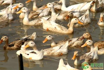 鸡鸭会传播病毒?疫苗研究得怎样?抗疫最新信息,你要知道