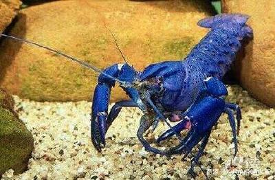 为什么变异小龙虾基本上都是蓝色虾壳的小龙虾?原因是什么?
