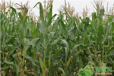 2月玉米价格多少钱一斤?新冠肺炎疫情对玉米市场供需有何影响?