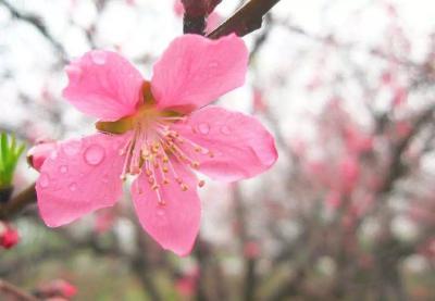 桃树花前该不该浇水?