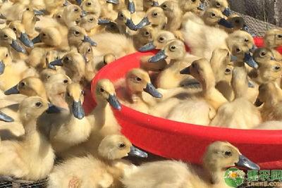 雏鸭如何正确运输?都有哪些注意事项?