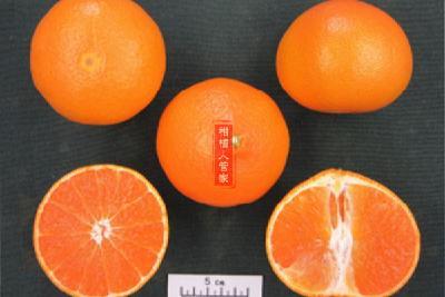 【新品种】红公主爱媛48号柑橘品种介绍(2020年柑橘新品种)