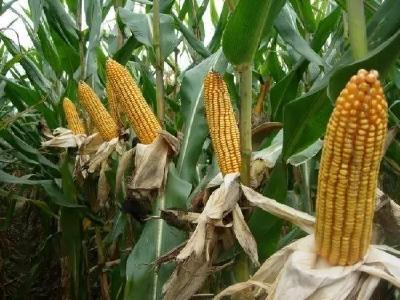 玉米购种季来临,这15个窍门助你轻松选好种!
