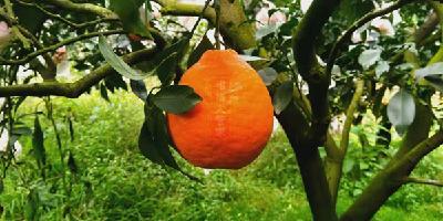 【新品种】丑美人柑橘品种简介(2020年柑橘新品种)