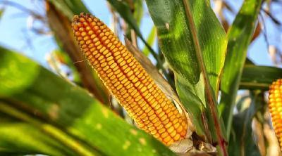 买玉米种子,千万要避开这6大误区、8大套路!快来看看你有没有踩过坑