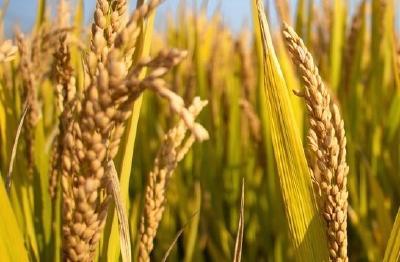 """每年增产300亿公斤!袁隆平提出发展""""海水稻""""最新目标"""