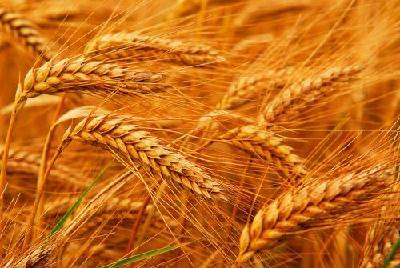 """收购价格集体上涨!小麦""""脱缰""""了?"""