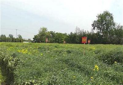 荆门高油酸油菜种植面积超20万亩 走在全国前列