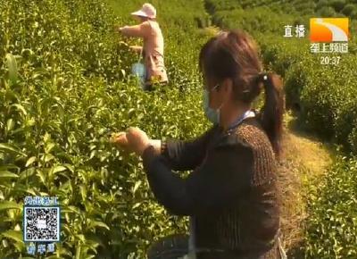 """咸宁崇阳:供电部门""""保姆式""""服务 采茶制茶不发愁"""