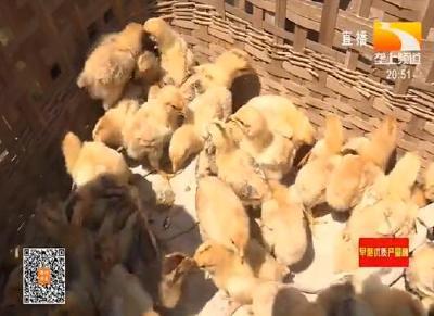 荆州:发展养鸡业 拓宽村民脱贫增收渠道