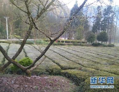鹤峰五里乡3400多亩茶园遭受霜冻 损失500多万元