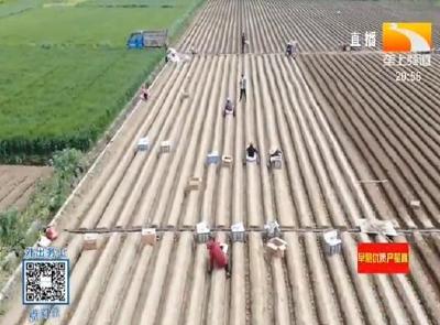 襄阳南漳:科学工艺双促进生姜好收成