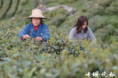 采茶人:5万次弯腰采摘 才能做一斤春茶