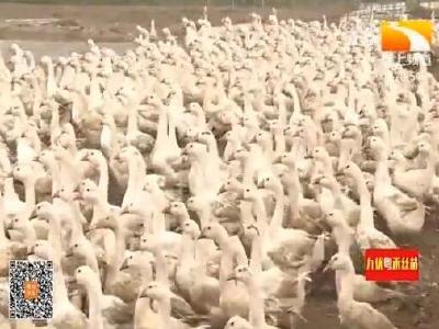 襄阳南漳:四千只肉鹅上市了