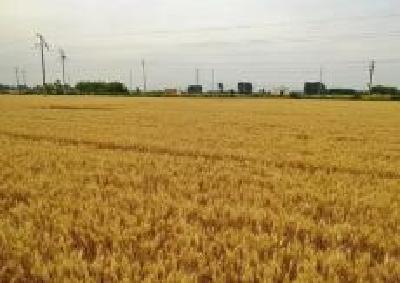 荆州夏粮收割 预计总产达51.02万吨