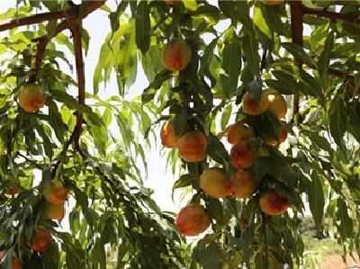 宜城:10万多亩桃子甜了 果农笑了