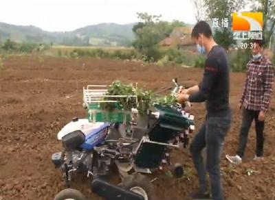 襄阳宜城:机械插薯苗 省时又省力