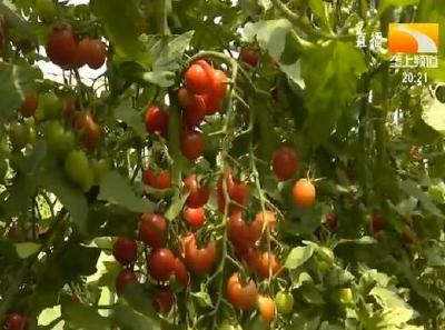 80万斤番茄待销 乡亲发愁