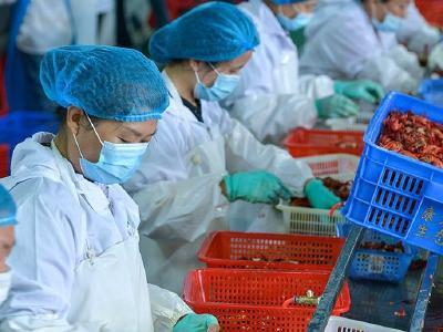 湖北应城:小龙虾加工忙