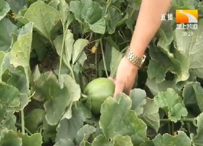 荆州:调优甜瓜品种 乡亲亩收入过万元