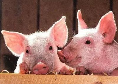 非瘟叠加新冠肺炎,全球或减少3.6亿头猪!缺猪时代来临了.....
