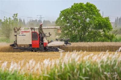 荆州夏粮丰收已成定局 小麦收获面积246.07万亩