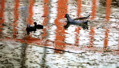 国家三有保护动物黑水鸡出现在丹江口人工湿地