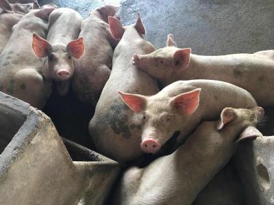 猪价单周大涨9%!散户补栏积极性锐减,业内维持今年高猪价预判不变