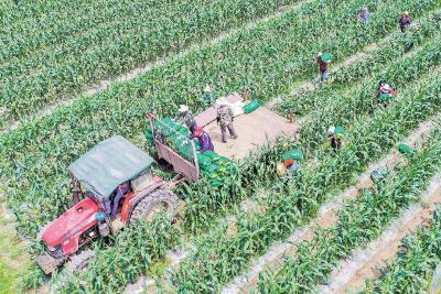 汉南近8万亩甜玉米丰收