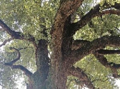 320岁老樟树未得到有效保护 浠水掏钱为253棵古树