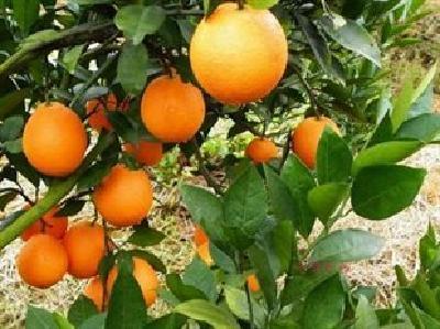 从捕鱼改行种植脐橙 一年多赚4万元
