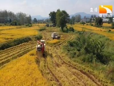 崇阳9万亩晚稻开镰 350台收割机加紧抢收