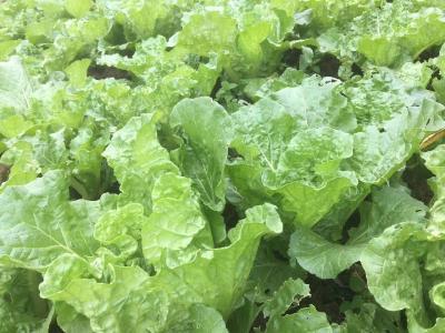 未腐熟粪肥蔬菜烧苗要分情况应对