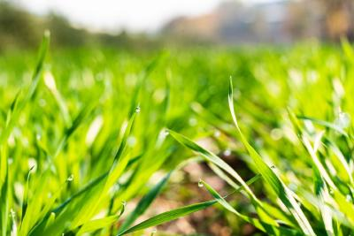 冬小麦控旺原因及措施