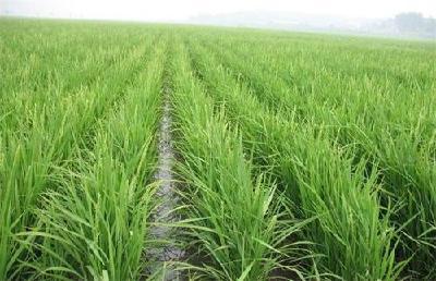 """2021年水稻""""两迁""""害虫防控技术要点"""