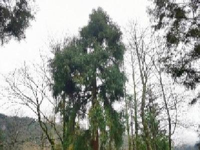 利川挂牌保护130余年的古树 深山藏着湖北最早引进的柳杉