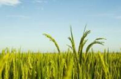 湖北推广九大吨粮绿色生产模式